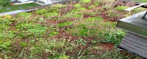Zelena streha zazelenitev