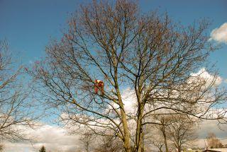 Arborist pri urejanju vrta