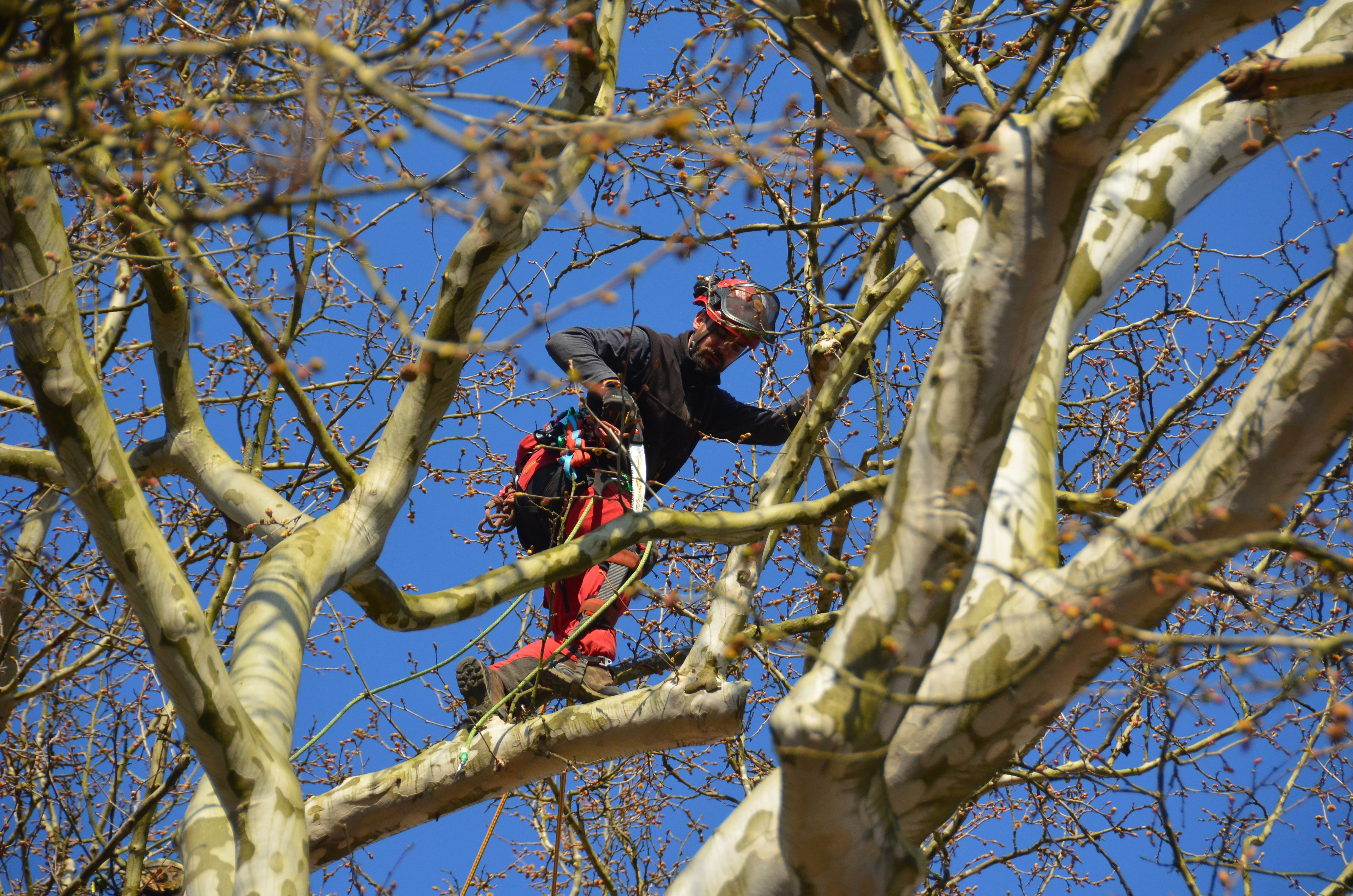 Obrezovanje dreves
