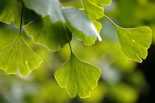 Okrasna drevesa za vrt - ginko