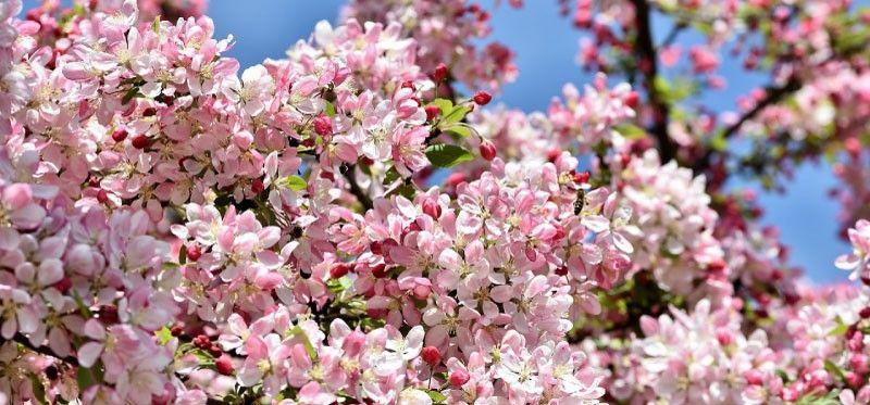NEga in obrezovanje okrasnega in sadnega drevja
