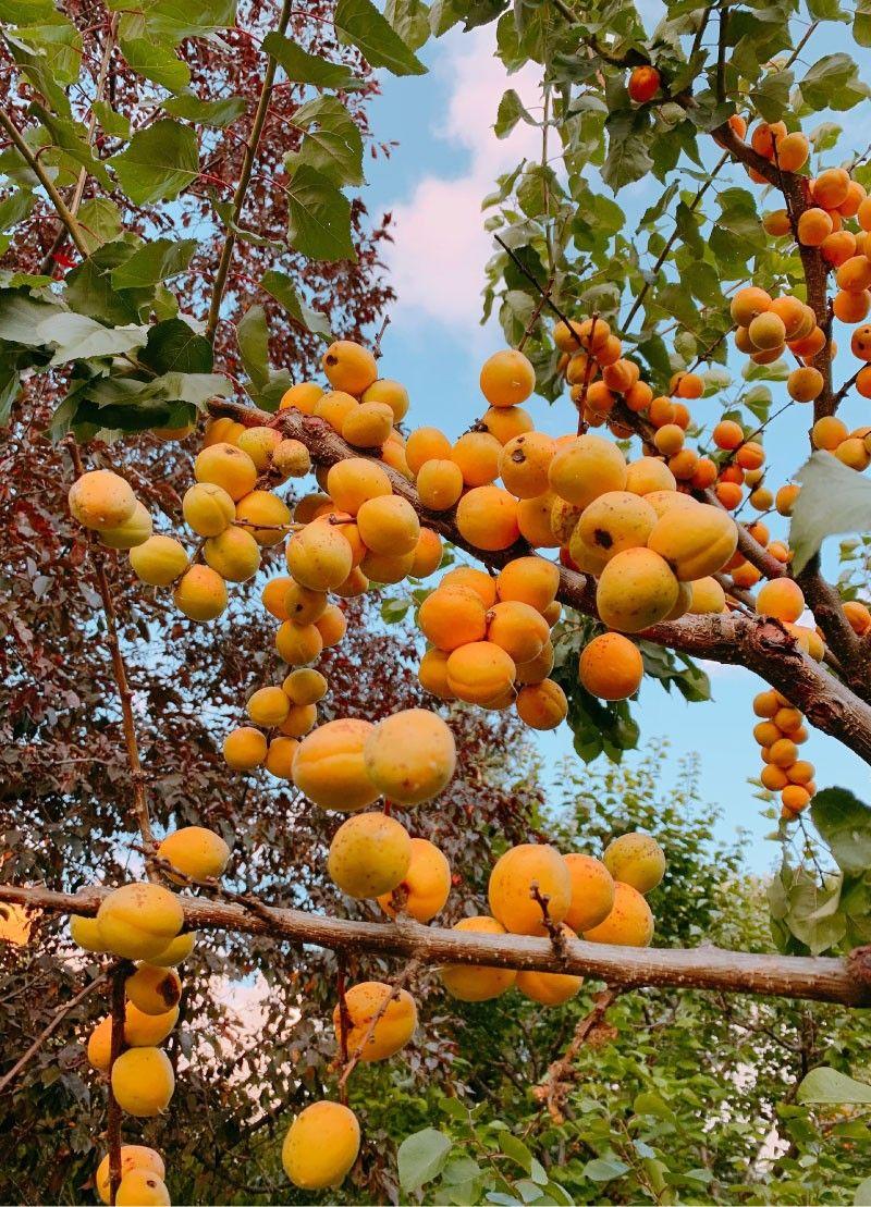 Obrezovanje sadnega drevja - koščičarji