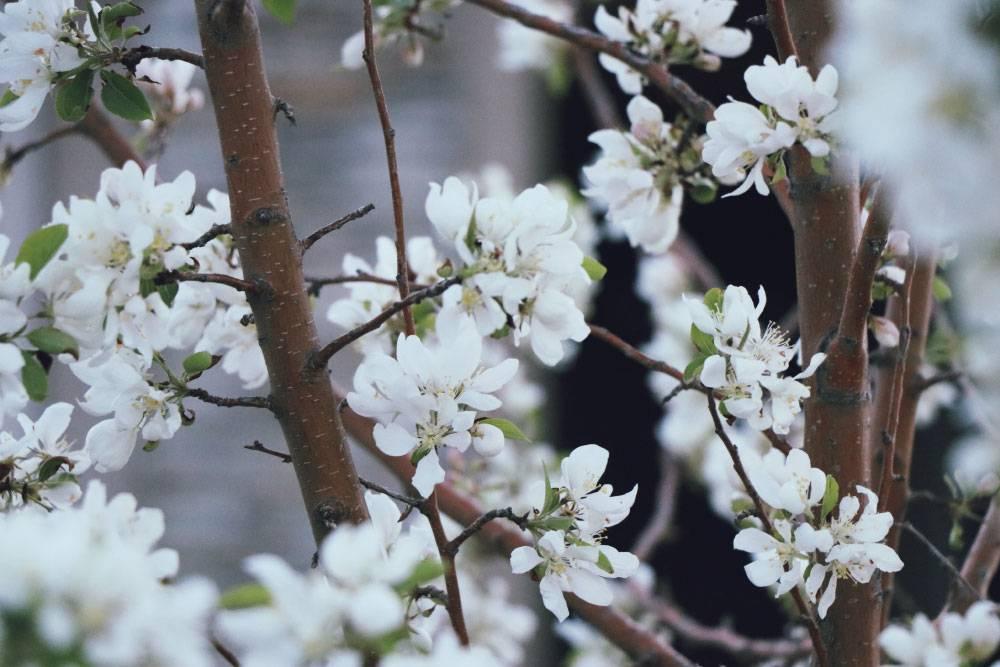 Okrasna drevesa za vrt