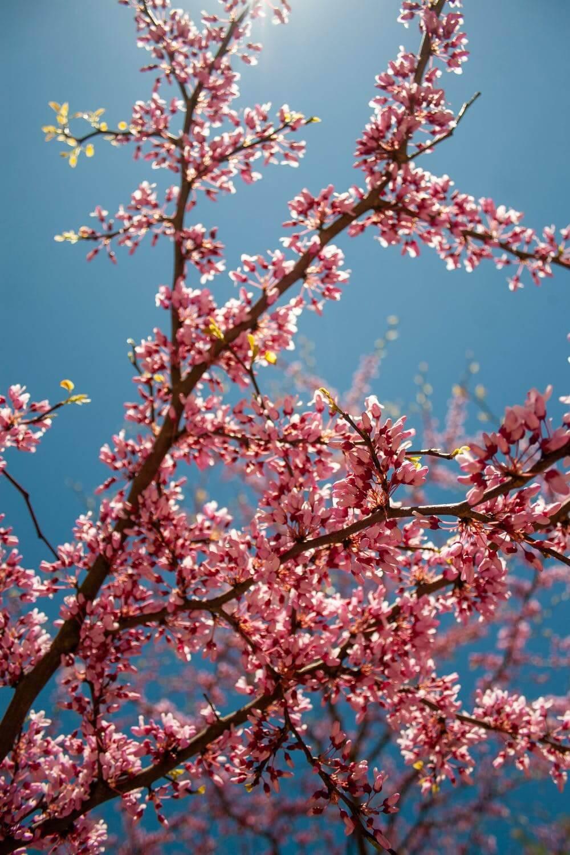 Okrasno drevje