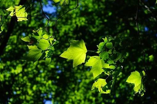 Okrasno drevje - platana