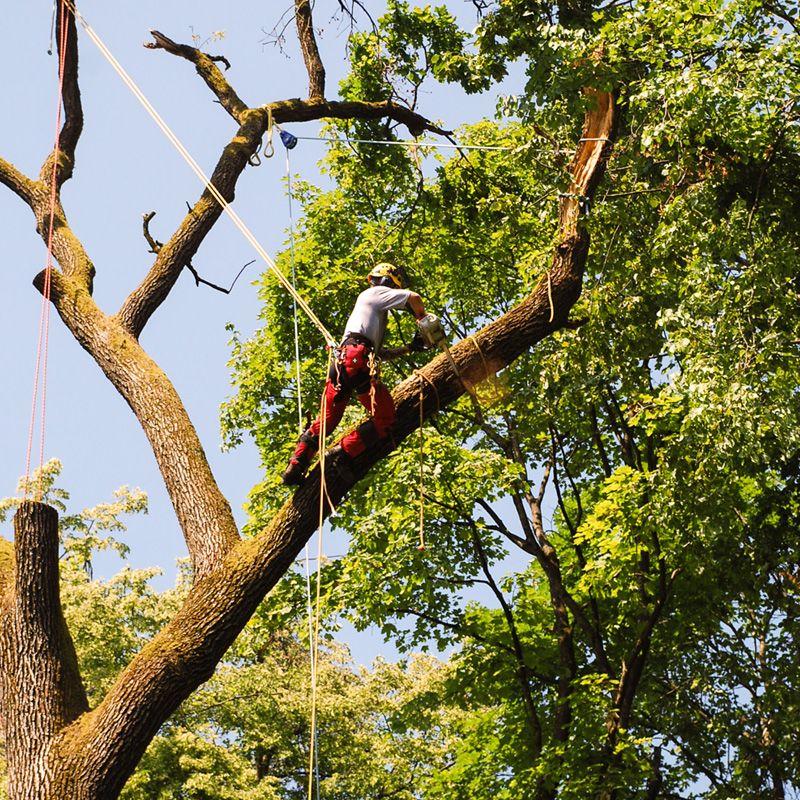 Sekanje in podiranje dreves